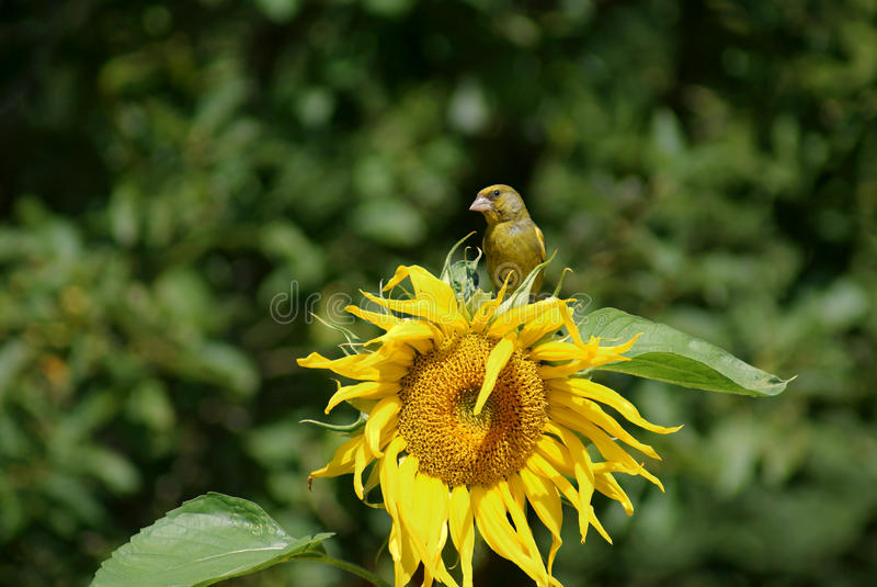 greenfinch ηλίανθος στοκ εικόνες με δικαίωμα ελεύθερης χρήσης