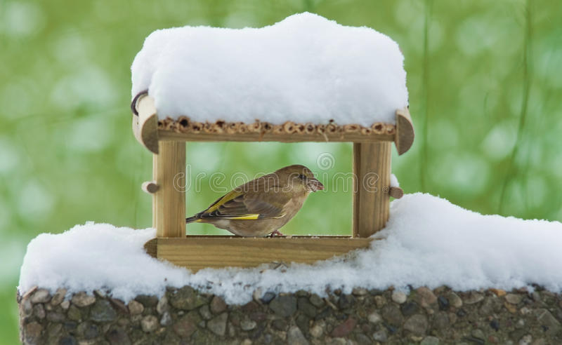 Greenfinch imagens de stock royalty free