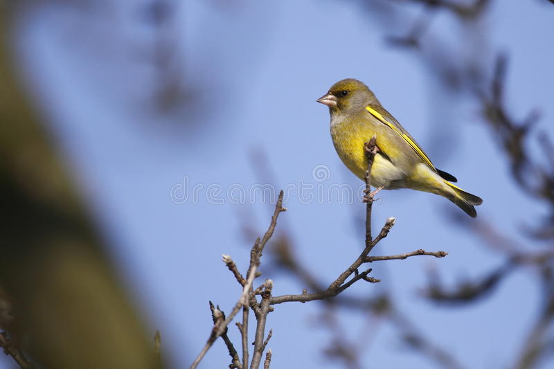 Download Greenfinch stock image. Image of tree, branch, nature - 17423393