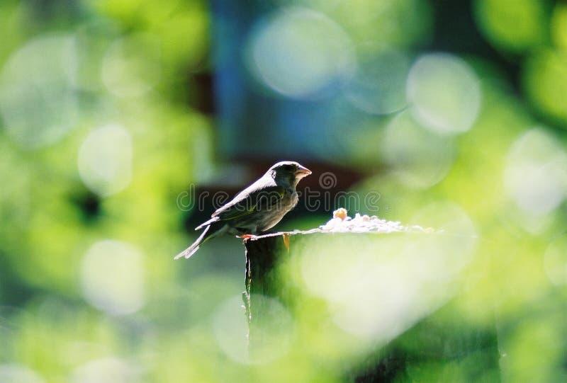 Greenfinch Fotografia Royalty Free