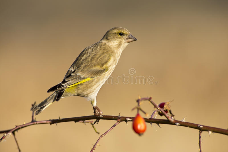 Download Greenfinch stock image. Image of songbird, ornithology - 28177767
