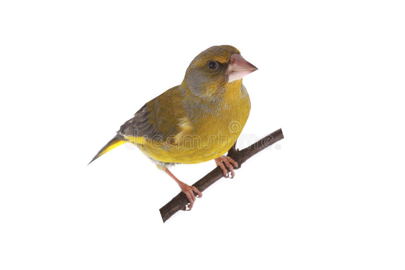 Greenfinch стоковая фотография