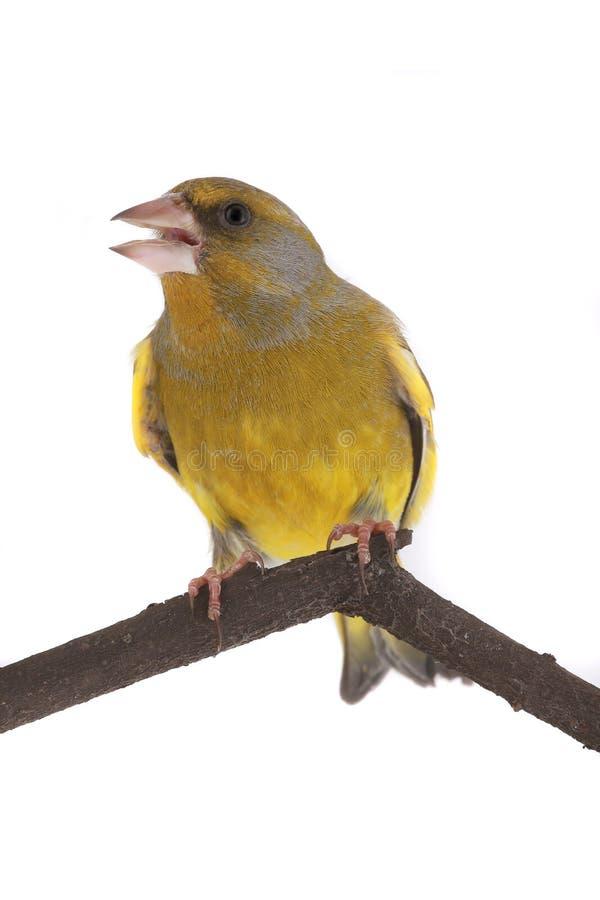 Greenfinch стоковые фотографии rf