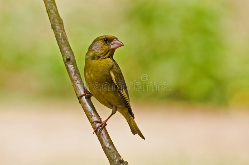 Greenfinch imagem de stock royalty free