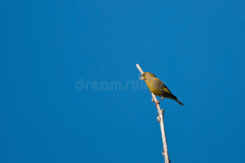 Greenfinch. European Greenfinch on a branch, blue sky stock photography