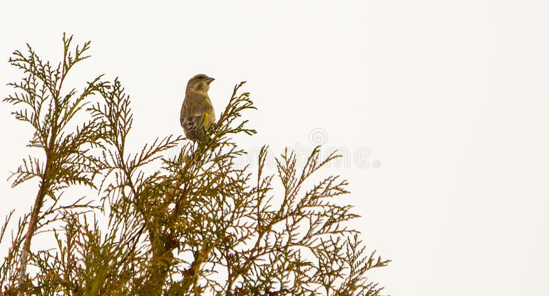 Download Greenfinch on bush stock image. Image of colour, details - 35389621