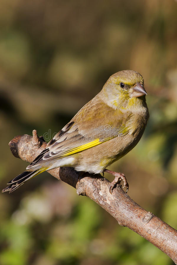 Download Greenfinch (Carduelis Chloris) Stock Photo - Image: 23843558