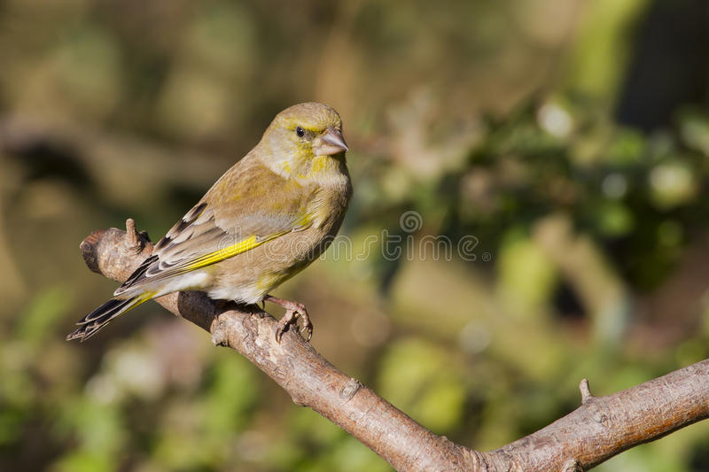 Greenfinch (Carduelis Chloris) stockbild