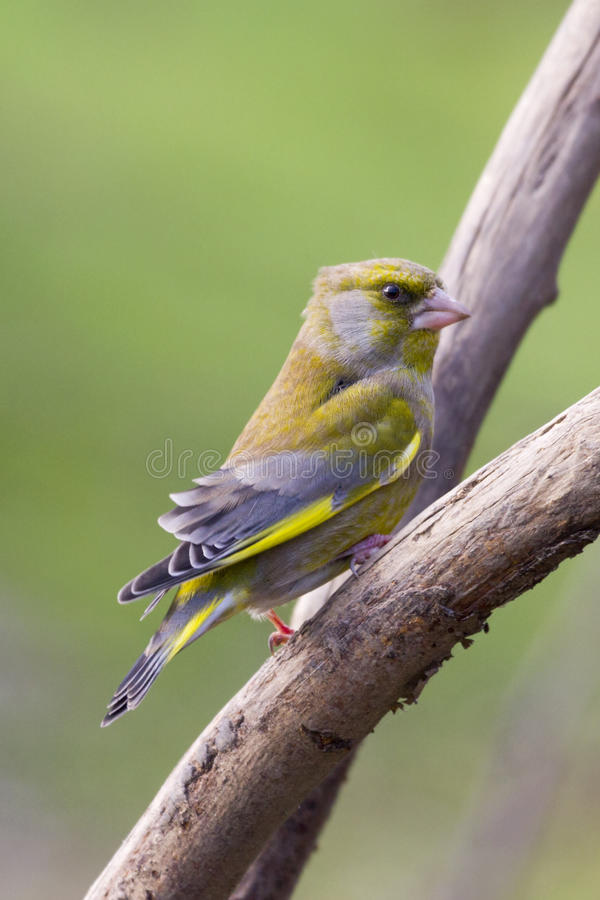 Greenfinch (Carduelis chloris) royalty free stock photo