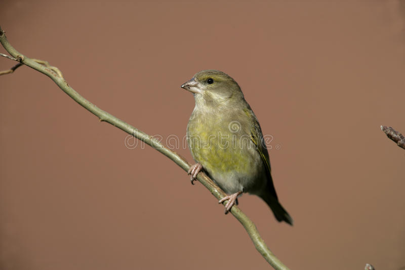 Greenfinch, Carduelis Chloris stockfotografie