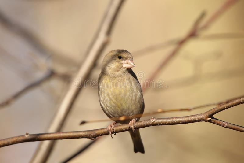 Greenfinch - Carduelis chloris at dawn royalty free stock photography