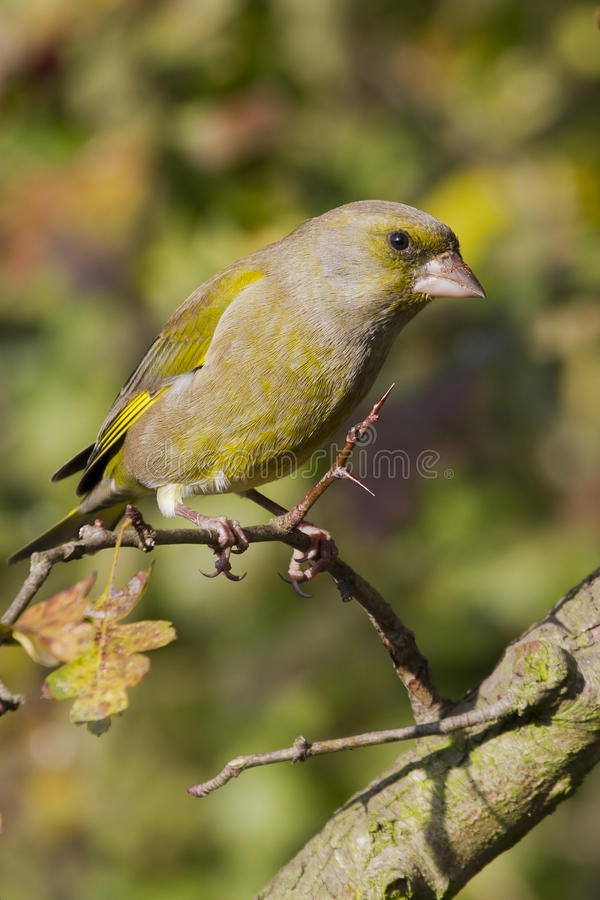 Greenfinch (Carduelis chloris) stock images