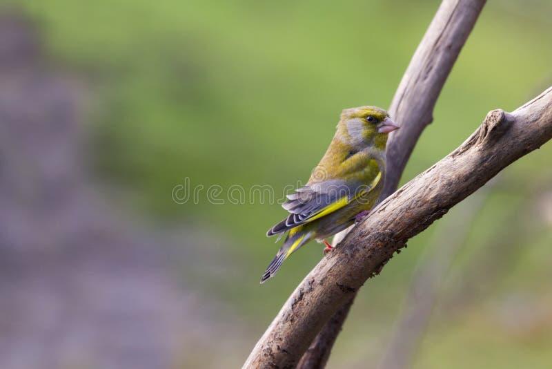 Greenfinch (Carduelis chloris) royalty free stock image