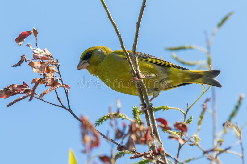 Greenfinch Carduelis chloris perched on tree royalty free stock photography