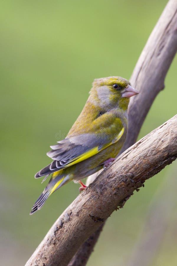 Download Greenfinch (Carduelischloris) Fotografering för Bildbyråer - Bild av djurliv, trädgård: 27281395