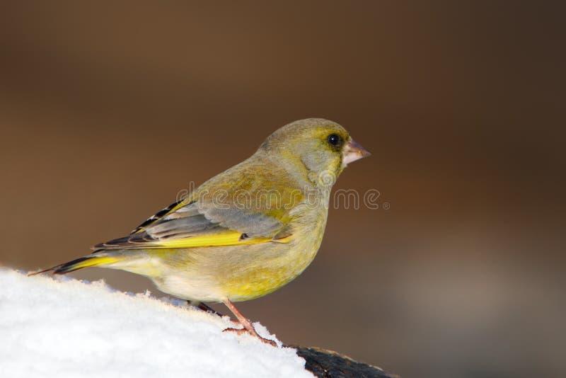 Greenfinch - chloris de Carduelis images stock