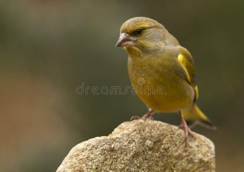 Greenfinch- (chloris De Carduelis) Photos stock