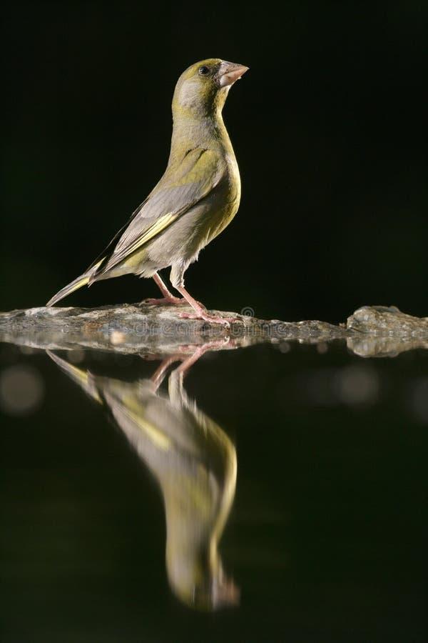 Greenfinch, chloris do Carduelis imagem de stock