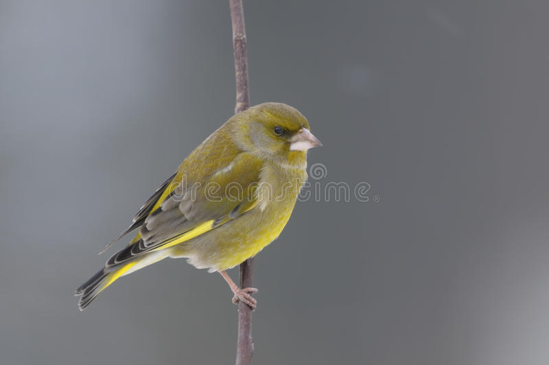 Greenfinch, cloris de carduelis photos stock