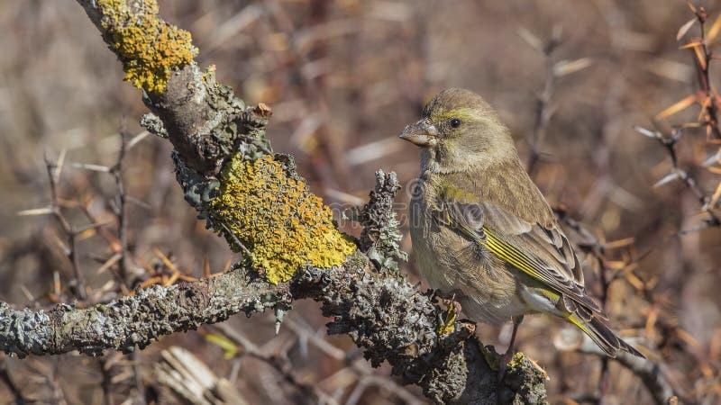 Greenfinch em Lichen Branch imagens de stock royalty free