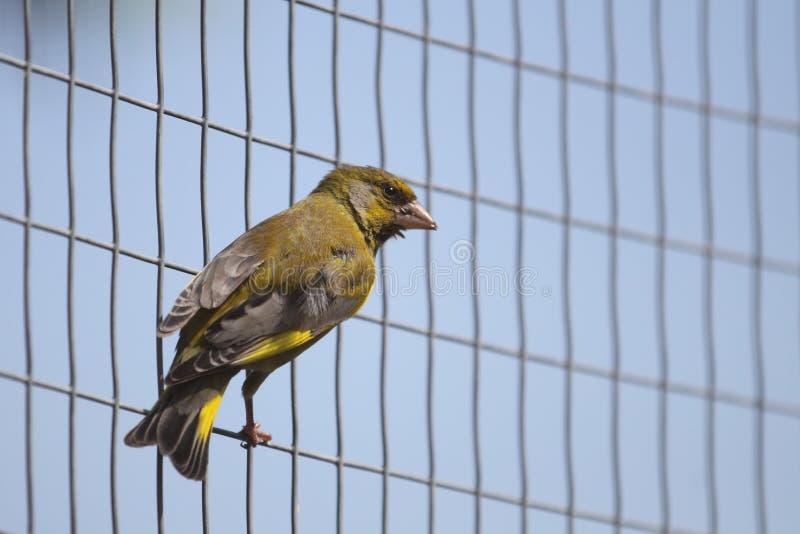 Greenfinch européen images libres de droits