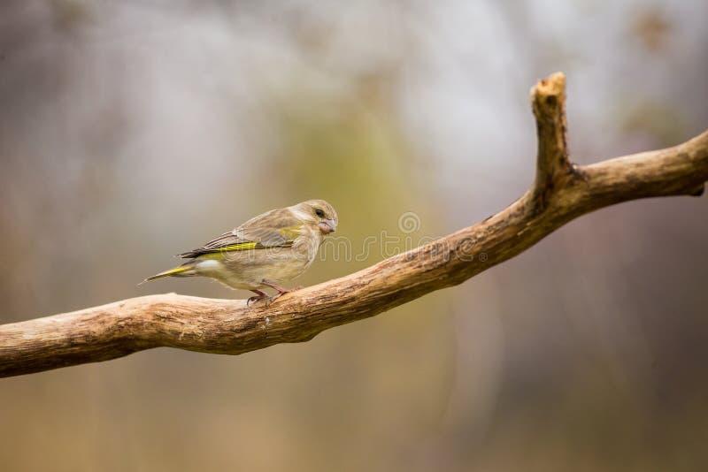 Greenfinch europeo que se sienta en la rama, pájaro en el pájaro de la rama, verde y amarillo, Europa, República Checa, sur Morav imágenes de archivo libres de regalías