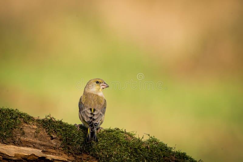 Greenfinch europeo que se sienta en la rama, pájaro en el pájaro de la rama, verde y amarillo, Europa, República Checa, sur Morav fotos de archivo
