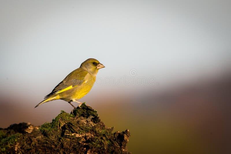 Greenfinch europeo que se sienta en la rama, pájaro en el pájaro de la rama, verde y amarillo, Europa, República Checa, sur Morav foto de archivo libre de regalías