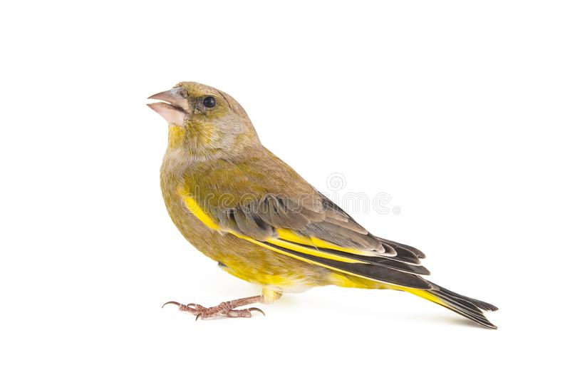 Greenfinch isolated on a white background. Male European Greenfinch carduelis chloris.  royalty free stock photo