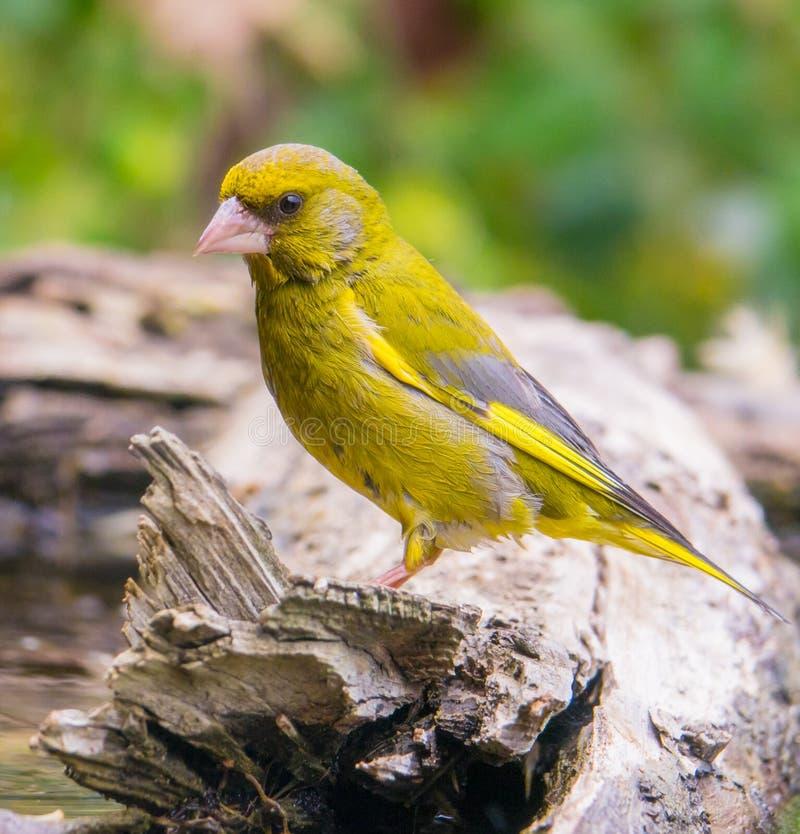 Greenfinch masculino imagem de stock