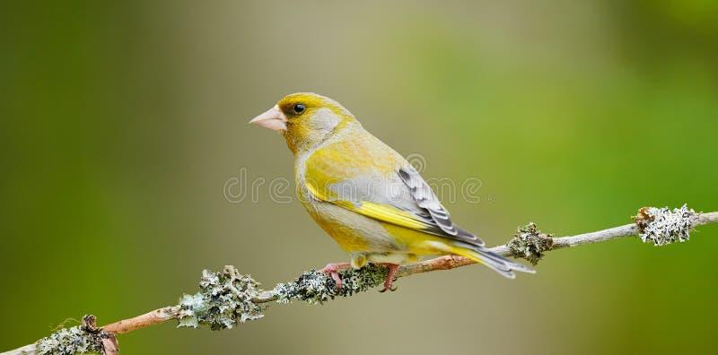 Download Greenfinch Masculino Bonito Foto de Stock - Imagem de branco, wildlife: 65577084