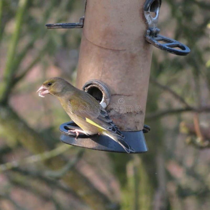 Greenfinch mit Nahrung stockfoto