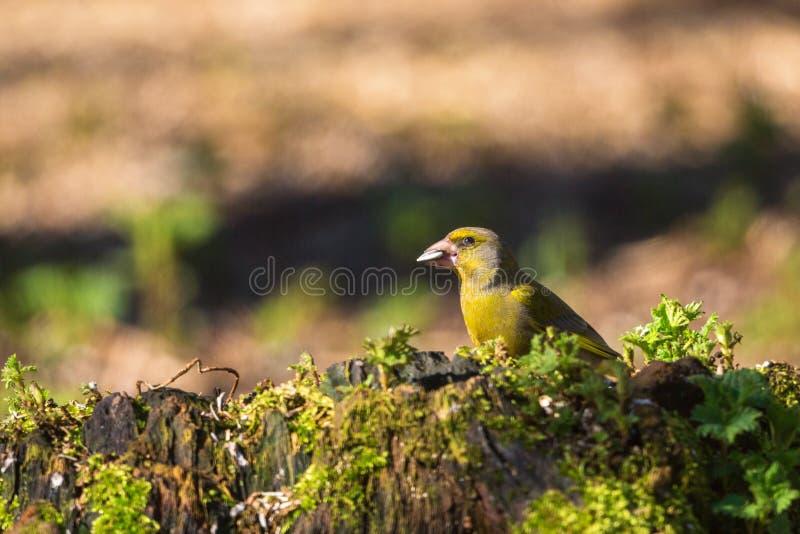 Greenfinch na fiszorku fotografia stock