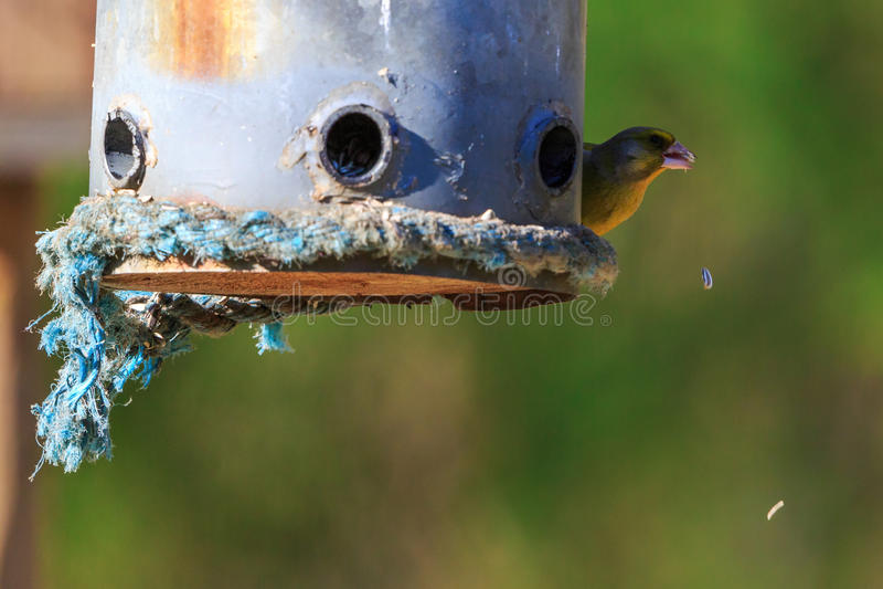 Greenfinch na ptasim dozowniku obrazy stock