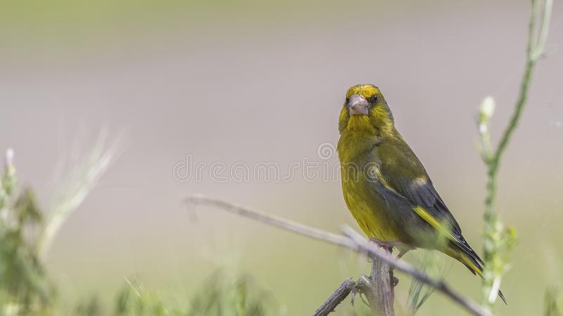 Greenfinch na Shrubbery obrazy stock