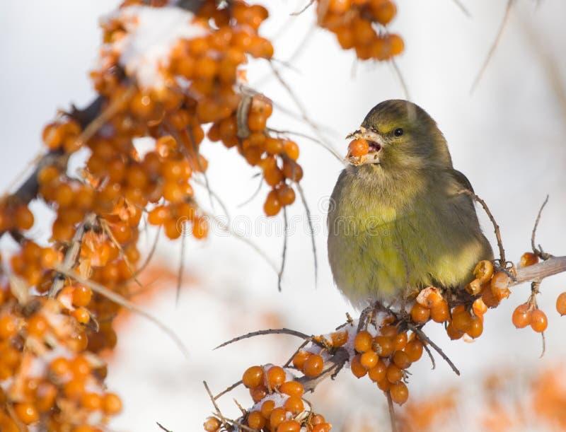 Greenfinch op overzees-Wegedoorn stock afbeeldingen