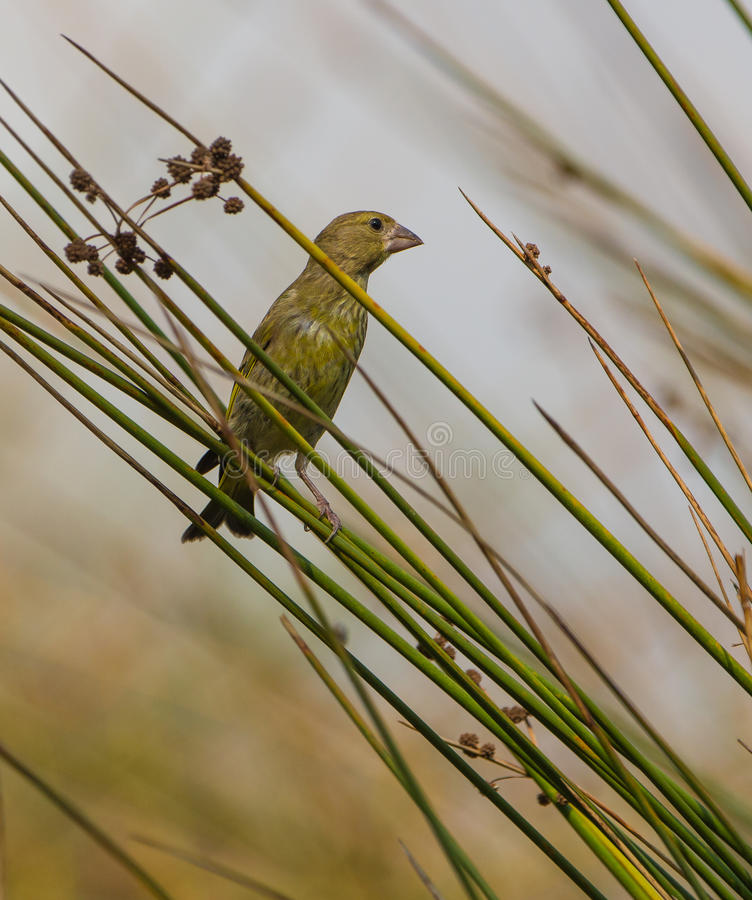 Download A Greenfinch On The Reed Stock Images - Image: 33263774