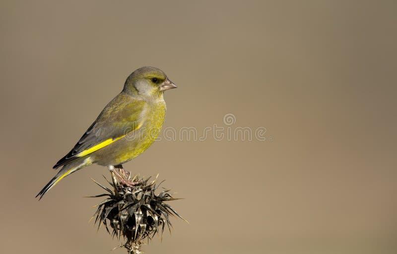 Greenfinch su un cardo selvatico fotografia stock