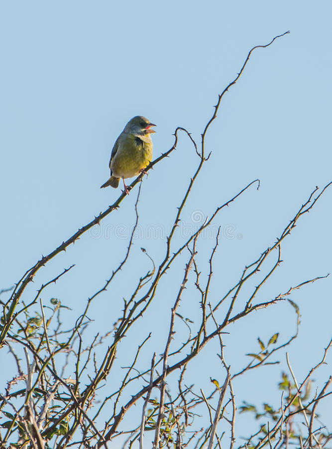 Download Greenfinch on a twig stock photo. Image of leafless, bird - 28316642