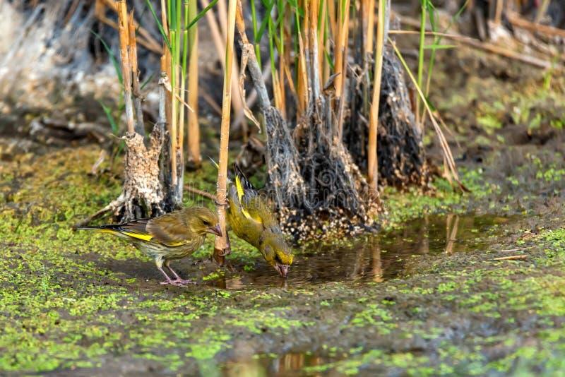 Greenfinches ou beber europeu do chloris do chloris fotos de stock royalty free