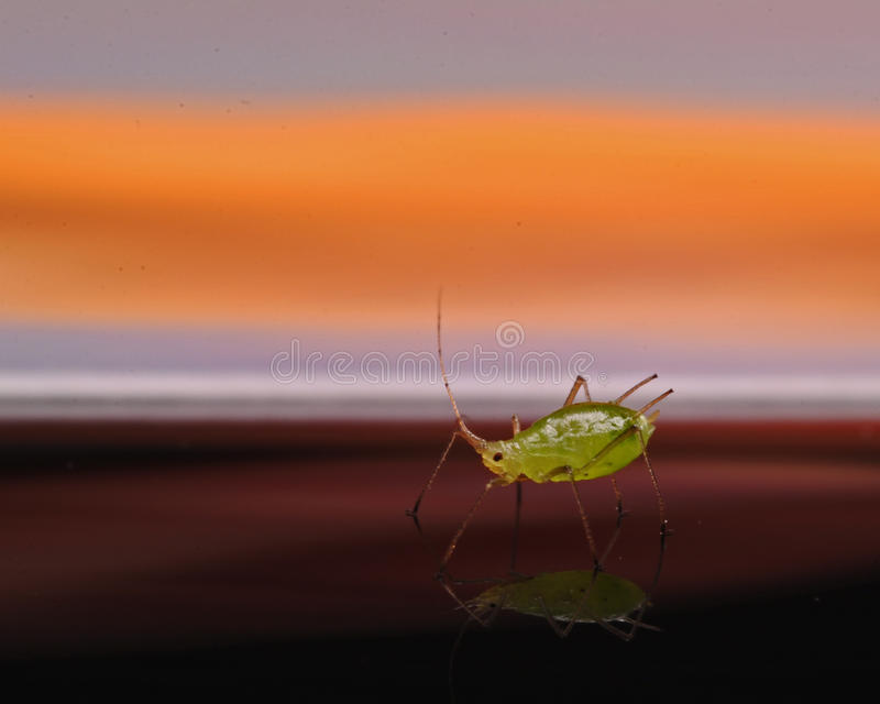Greenfly Aphidoidea. In a beautiful sunset on mirror stock photography