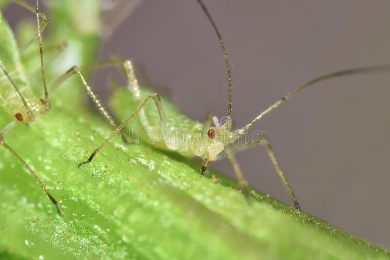 Greenfly. Vine fretter, greenfly, vine louse sucking on plant, macro royalty free stock photos