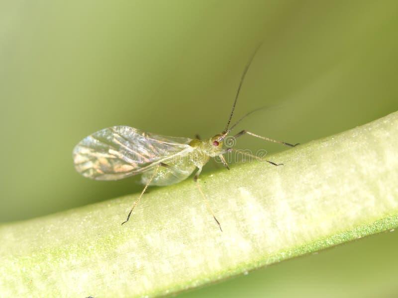 Greenfly. Vine fretter, greenfly, vine louse sucking on plant, macro stock photo