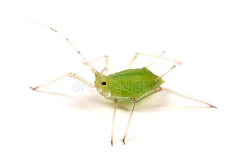 Greenfly on White. Greenfly or Aphid on white - wingless form royalty free stock images