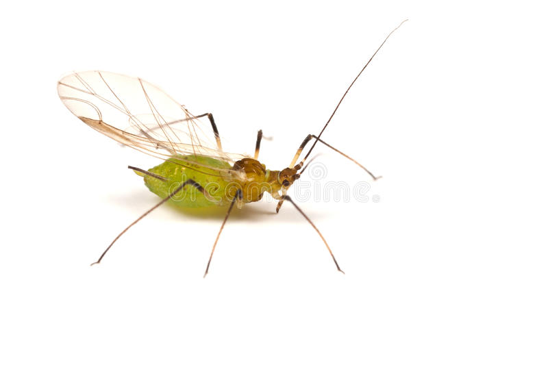 Greenfly on White. A greenfly or aphid on white - winged form royalty free stock photography