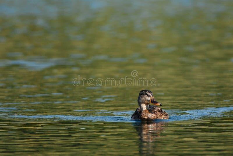 Greenhead. Female greenhead swimming on green water, Croatia stock images