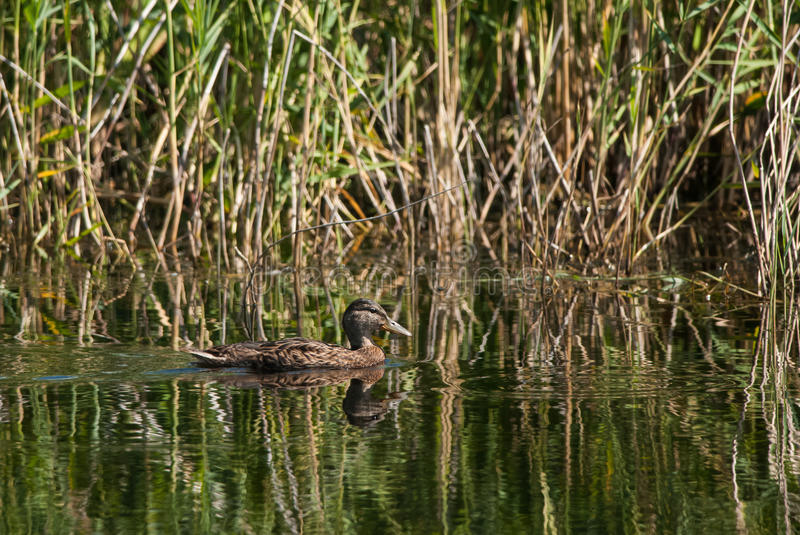 Greenhead. Swimming on a pond in Estonia royalty free stock image