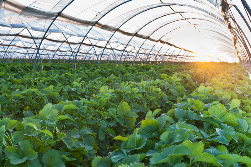 Greenhouse. Sunset over agricultural greenhouse field royalty free stock photos