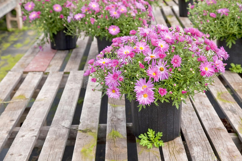 Download Greenhouse Asters stock image. Image of inside, bloom - 28831321