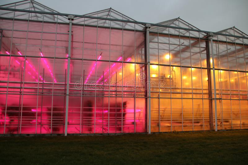 Greenhouse in Bleiswijk, the Netherlands of the Wageningen University is testing LED lights on the left versus tradiitional growi. Ng lights to imitate sunlight stock image